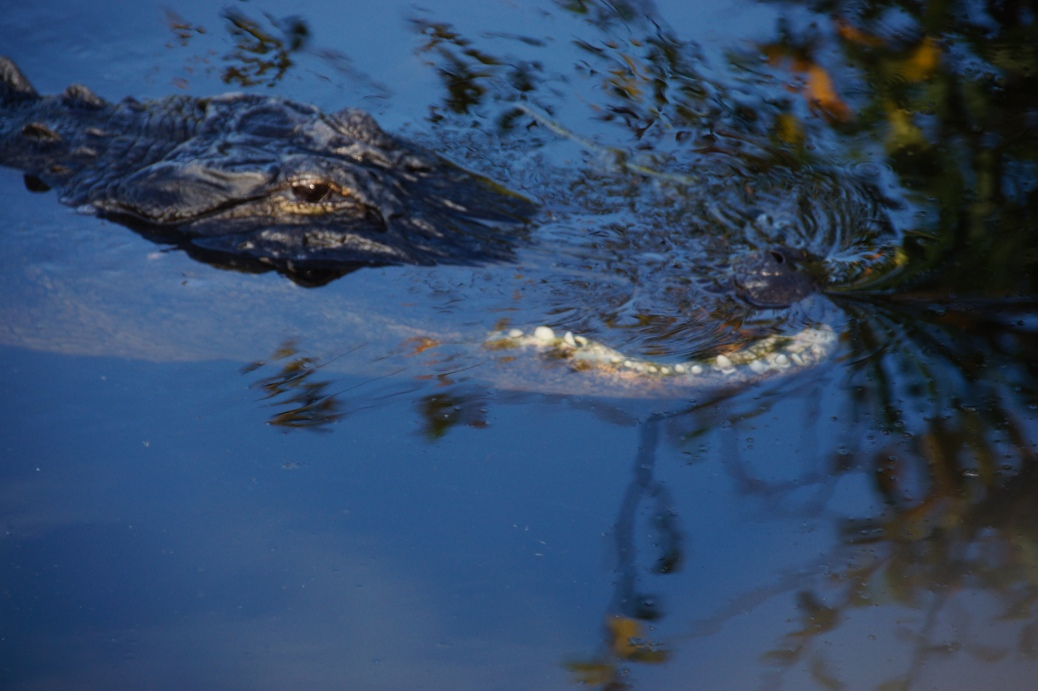 Alligator (14 of 14)