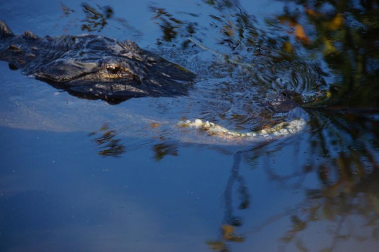 Alligator (14 of 14)