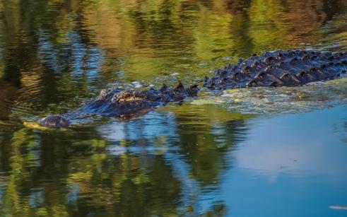 Alligator (4 of 14)