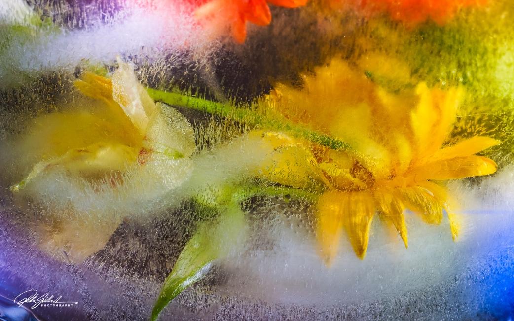 Frozen flowers oyellow gerbera (1 of 1)