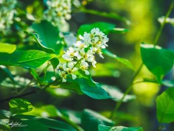 European bird cherry