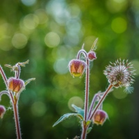 June -The water avens