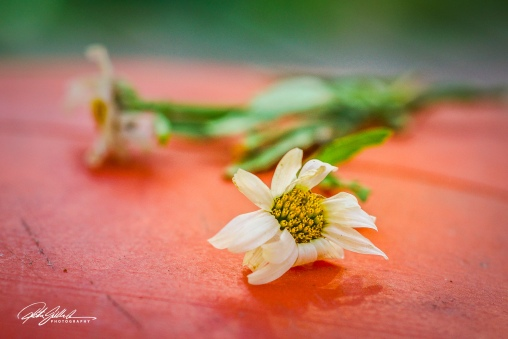 daisy (1 of 3)