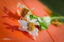 daisy (3 of 3)