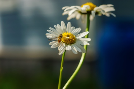flower fly and daisies