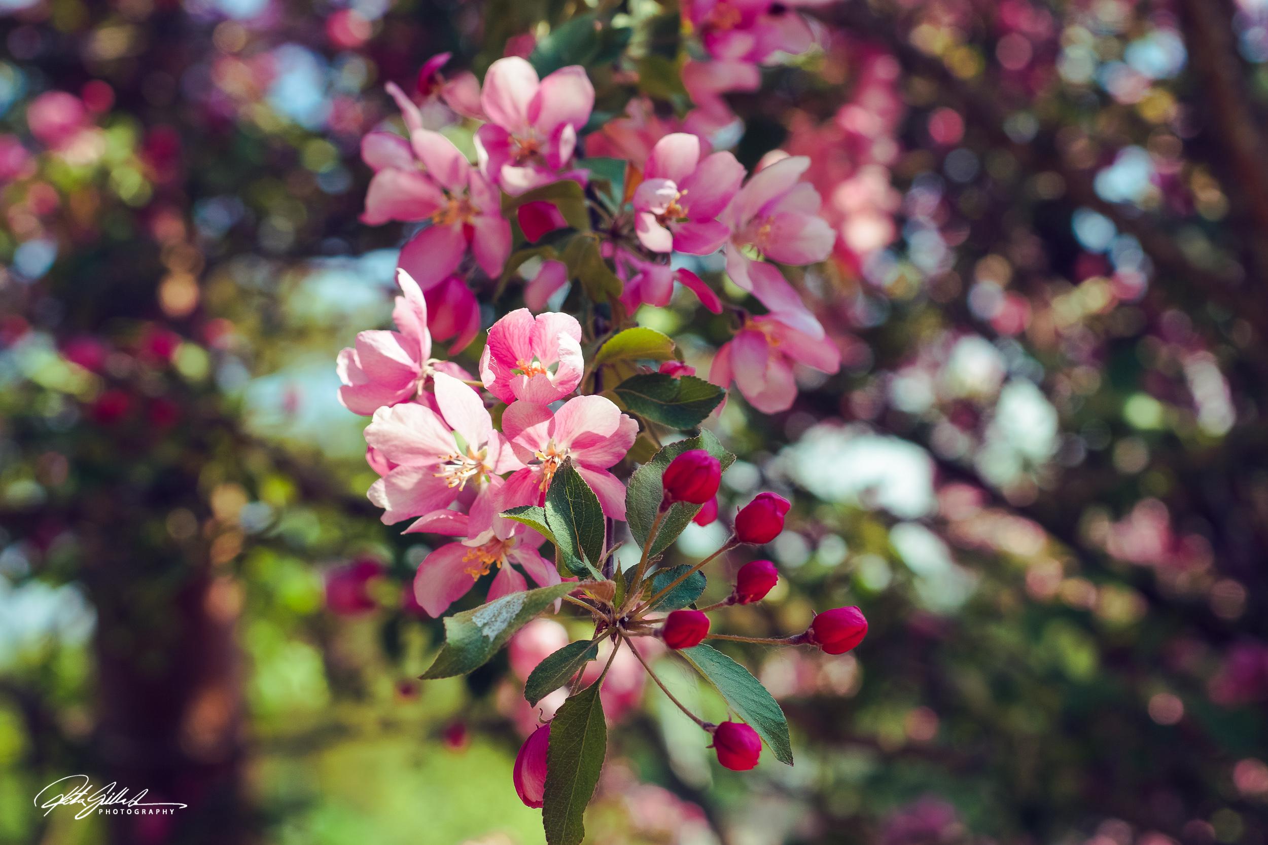 Kirsikkapuun Kukka