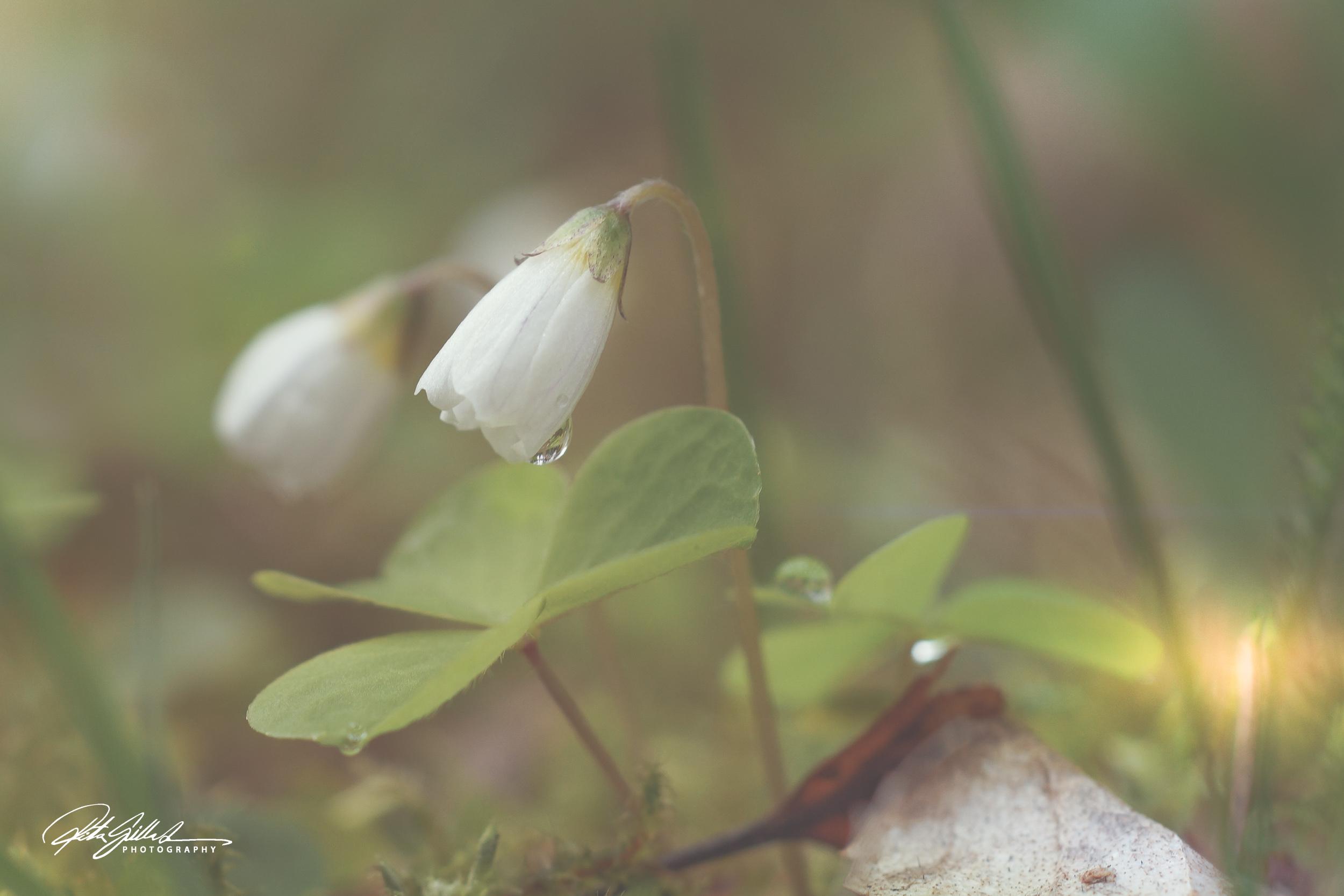 Spring 2019 – Wood sorrel 1